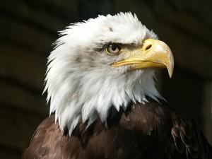 bald-eagle-550804 1280