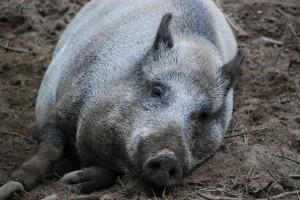 boar-1000376 1280