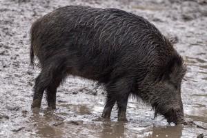 boar-658018 1920