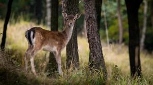 fallow-deer-984576 1920