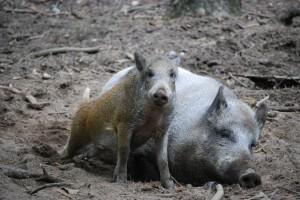 wild-boars-1000374 1280